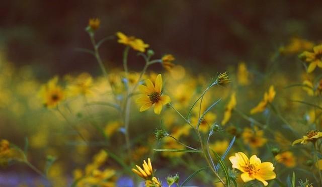 buttercups-207232_640h